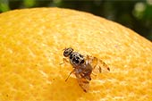 med fruit fly