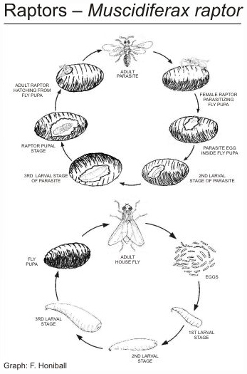 wasp life cycle wwwpixsharkcom images galleries with